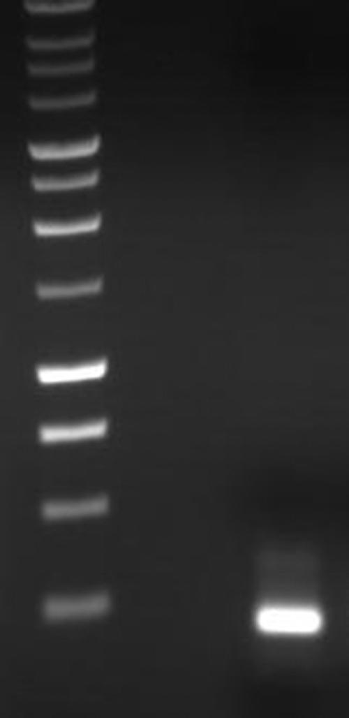 Reverse transcriptase polymerase chain reaction expression of manganese superoxide dismutase in HLE-B3 cells. Total RNA was extracted from confluent HLE-B3 cells and subjected to RT–PCR for MnSOD. The cDNA product yielded one band at the correct predicted molecular weight (199 bp). The authenticity of PCR products was verified by DNA sequencing and a BLAST search of the sequence (refer to Methods).