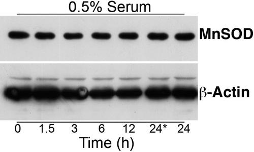 Western blot analysis of manganese superoxide dismutase expression in HLE-B3 cells. Total cell lysates were collected from HLE-B3 cells grown in 0.5% serum and stimulated by exposure to 1 μM 17β-E 2 for 0, 1.5, 3, 6, 12, and 24 h. There was no change in the expression of MnSOD at any of the time points. The time points at 0 and 24* hours did not receive estrogen.