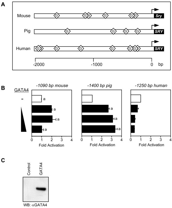 Transcriptional properties of GATA4 on the mouse, pig, and human SRY promoters . A. Multiple consensus (but not species conserved) GATA binding motifs are present in the first 2 kilobases of the mouse, human, and pig SRY promoters; the GATA sites are indicated by the lozenges. B. Ability of GATA4 to transactivate the SRY promoter. HeLa cells were co-transfected with either a -1090 bp mouse, -1400 bp pig, or -1250 bp human SRY -luciferase promoter construct (500 ng) along with increasing amounts of a GATA4 expression vector (25, 50, or 100 ng). All promoter activities are reported as fold activation over control ± S.E.M. Like letters indicate no statistically significant difference between groups (P > 0.05). C. Western blot analysis of nuclear extracts (10 μg) from HeLa cells overexpressing GATA4.