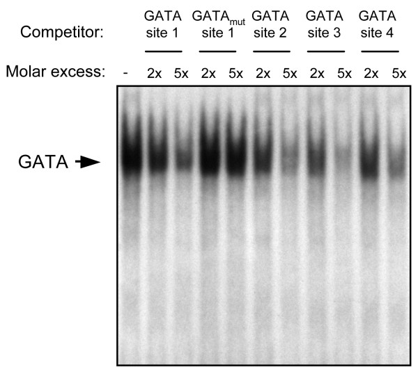 SRY promoter GATA motifs bind GATA4 . An EMSA was performed with recombinant GATA4 protein and a 32 P-labeled oligonucleotide probe corresponding to the first consensus GATA motif (GATA site 1) of the pig SRY promoter. Competition with an oligonucleotide containing a mutated GATA motif (GATA to GGTA) was used to confirm the specificity of GATA4 binding (GATA mut site 1). GATA4 binding to the more distal GATA motifs (GATA sites 2–4) was then assessed by competition experiments using the indicated oligonucleotides.