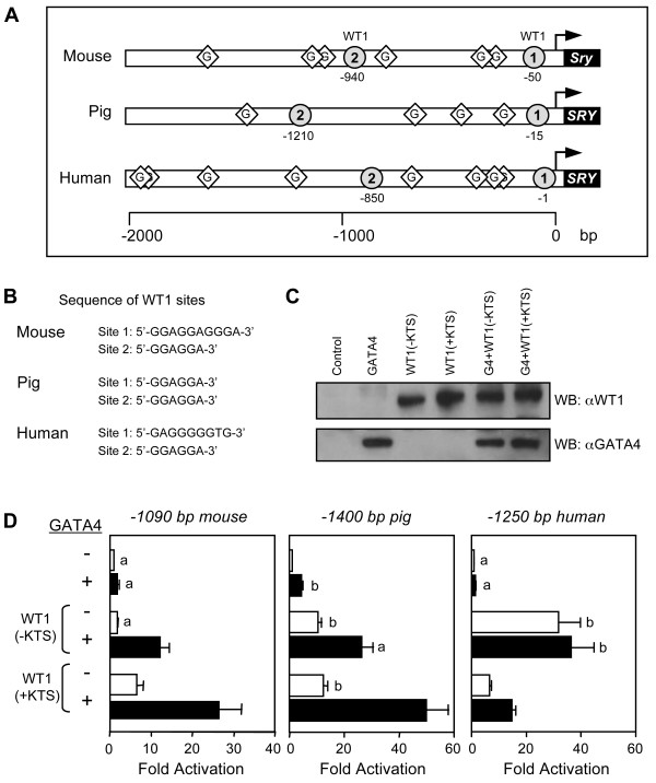 GATA4 and WT1 transcriptionally cooperate to activate the SRY promoter . A. In addition to multiple GATA motifs, two potential WT1 binding sites (indicated by gray circles) are present in the first 2 kilobases of the mouse, human, and pig SRY promoters. B. Nucleotide sequence of the potential WT1 binding sites in the mouse, pig, and human SRY promoters. C. Western blot analysis of HeLa cells extracts (10 μg) overexpressing GATA4 and/or WT1 (+/- KTS) isoforms. D. WT1 and GATA4 transcriptionally cooperate. HeLa cells were co-transfected with either a -1090 bp mouse, -1400 bp pig, or -1250 bp human SRY -luciferase promoter construct (500 ng) along with an empty vector or expression vectors (500 ng) for WT1(-KTS) or WT1(+KTS) in the absence (-) or presence (+) of GATA4 (50 ng). All promoter activities are reported as fold activation over control ± S.E.M. Like letters indicate no statistically significant difference between groups (P > 0.05).