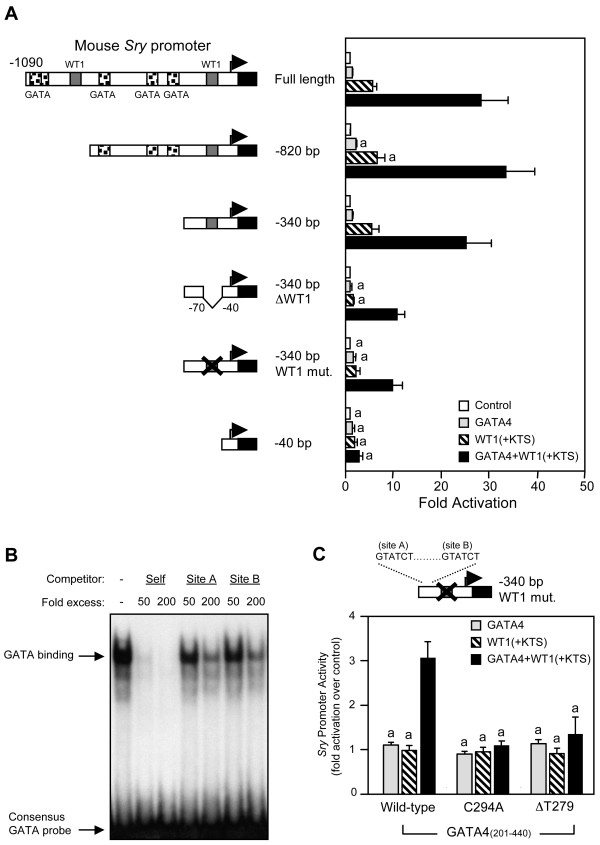 The mouse Sry promoter requires an intact proximal WT1 binding site for full transcriptional synergism by GATA4 and WT1 . A. Deletion and mutation analysis of mouse Sry 5' flanking sequences in HeLa cells. HeLa cells were co-transfected with the different mouse Sry promoters (500 ng) as indicated along with an empty vector (control) or expression vectors for GATA4 and/or WT1(+KTS). B. The mouse Sry promoter contains two low affinity GATA binding elements (named sites A and B) located between -340 and -70 bp. An EMSA was performed with recombinant GATA4 protein and a 32 P-labeled oligonucleotide probe corresponding to the consensus GATA element from the proximal murine Star promoter [70]. Competition with unlabeled probe (self) and oligonucleotides corresponding to GATA sites A and B of the mouse Sry promoter was used to assess the affinity of GATA4 binding to these sites. C. The low affinity GATA binding sites (A and B) of the proximal mouse Sry promoter are functional. The remaining GATA4/WT1 synergism observed on the -340 bp Sry construct harboring the WT1 site mutation (-340 bp WT1 mut.) is abolished when two different GATA4 DNA-binding mutants (C294A or ΔT279) are used. For the wild-type and mutated GATA4 constructs, a truncated GATA4 protein (aa 201–440; see diagram in Fig. 6A) was used. For all transfection experiments, promoter activities are reported as fold activation over control ± S.E.M. Like letters indicate no statistically significant difference between groups (P > 0.05).