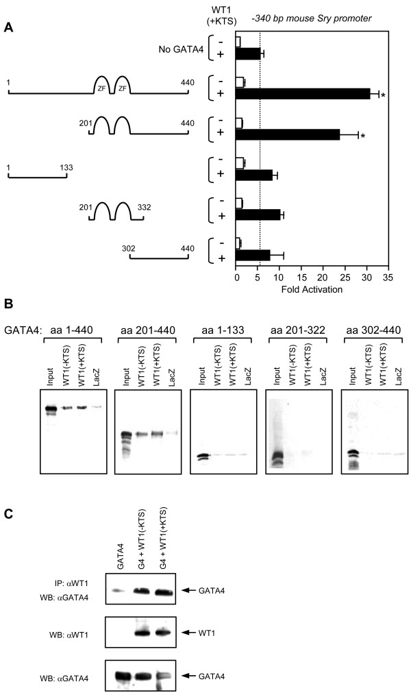 The zinc finger domains and C-terminal region of the GATA4 protein are required for the transcriptional cooperation and direct interaction with WT1 . A. The domain of the GATA4 protein involved in the transcriptional cooperation with WT1 was identified using the full-length GATA protein and four different GATA4 deletion mutants as indicated. HeLa cells were co-transfected with the -340 bp mouse Sry promoter (500 ng) along with an empty vector or expression vectors for the different GATA4 constructs in the absence (-) or presence (+) of a WT1(+KTS) expression vector (500 ng). All promoter activities are reported as fold activation over control ± S.E.M. The dotted line indicates the activation induced by WT1(+KTS) alone. *, Significantly different from the activation elicited by WT1 alone (P