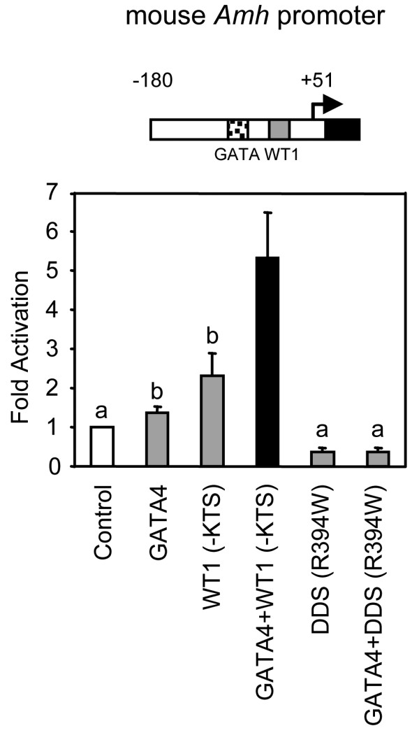 A mutated form of WT1 (WT1 R394W) that causes retention of Müllerian ducts in humans fails to synergize with GATA4 . A. HeLa cells were co-transfected with the mouse -180 bp Amh promoter and either an empty expression vector (control) or expression vectors for GATA4 (100 ng), WT1(-KTS) wild-type (500 ng) or WT1(-KTS) R394W DDS mutant (500 ng), used alone or in combination as indicated. All promoter activities are reported as fold activation over control ± S.E.M. Like letters indicate no statistically significant difference between groups (P > 0.05).