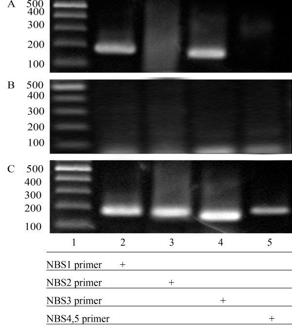 NKX3.1 binds to the NBSs of the PCAN1 promoter in living cells . LNCaP cells transfected with pcDNA3.1- NKX3.1 were cross-linked by formaldehyde treatment and lysed. Cell lysates were subjected to immunoprecipitation with either an antibody to NKX3.1 (A) or rabbit IgG (B). Four primers (names and sequences are shown in Table 1) spanning five NBSs of PCAN1 promoter region were used for PCR of recovered DNA from the immunoprecipitation (lanes 2–5). Input DNA was used as positive control (C).