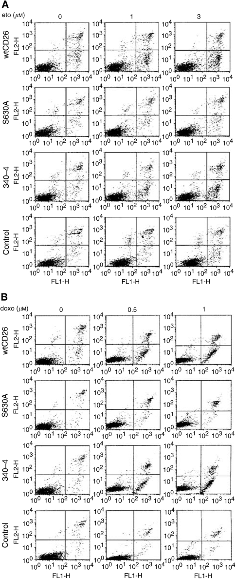 Enhancing effect of CD26/DPPIV surface expression on apoptosis induced by topoisomerase II inhibitors. CD26 Jurkat transfectants were incubated at 37°C in culture media alone or culture media containing etoposide ( A ) for 14 h or doxorubicin ( B ) for 16 h at the concentrations indicated. Cells were then harvested and Annexin V/PI assays were performed as described in Materials and Methods. wtCD26 : wild-type CD26 Jurkat transfectant; S630A : Jurkat cells transfected with mutant CD26 containing an alanine at the putative catalytic serine residue at position 630, resulting in a mutant CD26-positive/DPPIV-negative Jurkat transfectant; control : nontransfected parental Jurkat; 340–4 : Jurkat cells transfected with mutant CD26 containing point mutations at the ADA-binding site residues 340–343, with amino acids L 340 , V 341 , A 342 , and R 343 being replaced by amino acids P 340 , S 341 , E 342 , and Q 343 , resulting in a mutant CD26-positive/DPPIV-positive mutant CD26 Jurkat transfectant incapable of binding ADA. Data are representative of three separate experiments. ( C ) wtCD26 Jurkat transfectants and parental cells were treated with doxorubicin over the indicated time intervals and drug concentrations. a: 12 h, b: 24 h, c: 36 h. Data are representative of three separate experiments.
