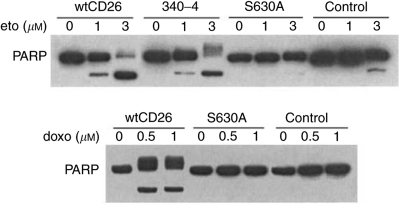 CD26/DPPIV-associated enhancement in PARP cleavage induced by topoisomerase II inhibitors. CD26 Jurkat transfectants were incubated at 37°C with media containing etoposide for 16 h or doxorubicin for 18 h at the indicated doses. Cells were then harvested, and whole-cell lysates were obtained. Following SDS–PAGE of lysates, immunoblotting studies for PARP and β -actin were performed as described in Materials and Methods. The cleaved product of PARP was detected at ∼85 kDa. Each lane was loaded with 30 μ g of protein.