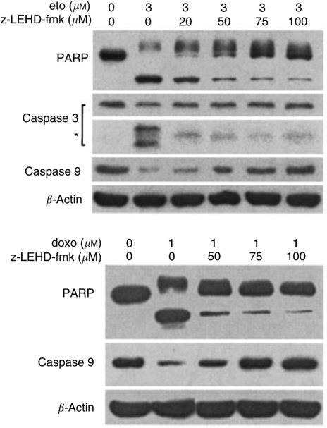 Effect of caspase-9 inhibitor z-LEHD-fmk on etoposide-induced apoptosis in wtCD26 Jurkat transfectant. wtCD26 Jurkat transfectants were incubated at 37°C for 2 h of preincubation with z-LEHD-fmk at varying doses, and then treated with 3 μ M etoposide or 1 μ M doxorubicin for 16 h. Cells were then harvested, and whole-cell lysates were obtained as described in Materials and Methods. Following SDS–PAGE of lysates, immunoblotting studies for PARP, caspase-3, caspase-9, and β -actin were performed as described in Materials and Methods ( * ): caspase-3 cleaved products. Each lane was loaded with 30 μ g of protein.