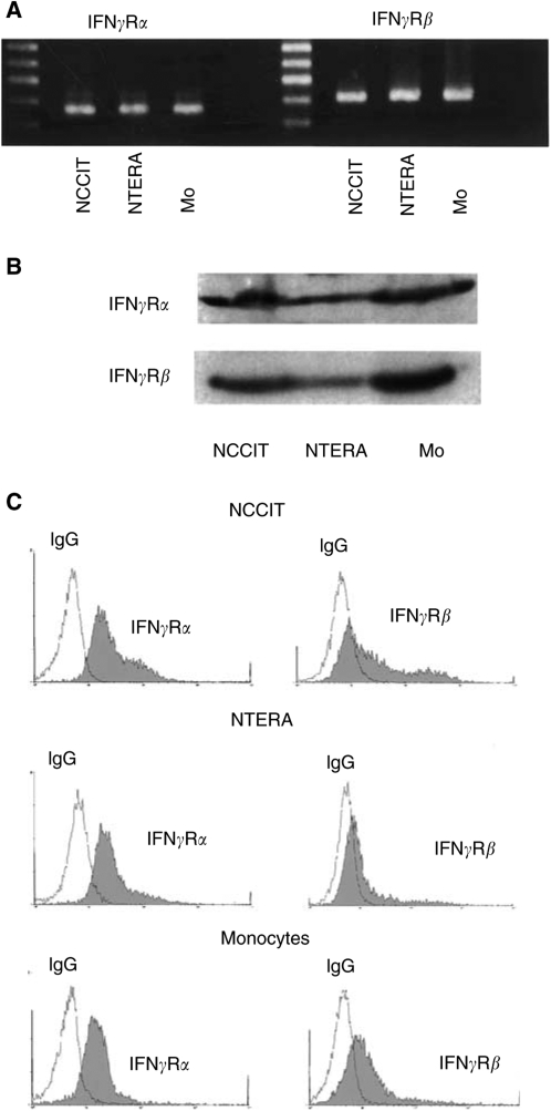Expression of IFN γ R proteins in TGCT cell lines ( A – D ). Production of IFN γ R α and IFN γ R β was examined by RT–PCR ( A ), Western blot ( B ) and FACS analysis ( C ). IFN γ R α and IFN γ R β mRNA ( A ) and proteins ( B and C ) are expressed in both TGCT cell lines NCCIT and NTERA. For control, human monocytes (Mo) were treated with IFN γ , as described in Materials and Methods, and proved to express IFN γ R α and IFN γ R β mRNA ( A ) and proteins ( B and C ). In part C, cells were stained by indirect immunofluorescence with anti-IFN γ R α or anti-IFN γ R β antibody (filled histograms) or with isotype control IgG (open histograms).