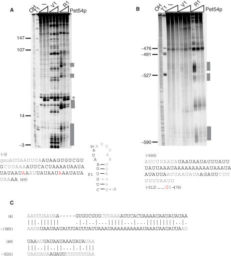 Visualization of the Pet54p-binding sites by RNase footprinting. 5′ end-labeled aI5β 3′TR RNA ( A ) or COX3 5′ UTL ( B ) were incubated with buffer (−), RNase V1 or 1 in the absence (first lane of each set) presence of saturating Pet54p (1.25 or 2.5 μM, second and third lanes of each set). Cleavage products were separated by denaturing gel electrophoresis and the data quantified as described in Materials and Methods section. Only those sites that showed 2-fold or higher reduction phosphorimager counts under both protein concentrations were identified as 'protected' (gray bars). Such sites were only observed in samples digested with RNase 1. The asterisk in (A) refers to bands of site-specific degradation caused by incubation with Pet54p. Below each gel image is a schematic of the relevant sequence protected from RNase1 digestion. Gray shading represents protection and the red shaded residues demarcate the 5′ binding boundary as defined in Figure 5 . In (A), a secondary structure of the first 21 nt defining the P1 helix is also shown. Note that residues g −3 to U3 are also cleaved by the double-stranded specific V1 RNase, but Pet54p binding does not protect these residues from V1 cleavage. ( C ) Alignment of the RNase 1 protected sequence. The sequence from positions A4 to A69 of aI5β intron and positions A −590 to U −512 of the COX3 5′ UTL were aligned using the EBOSS program ( 32 ). Gray-shaded residues are protected from RNase 1 digestion in the presence of Pet54p [see (A) and (B) above].