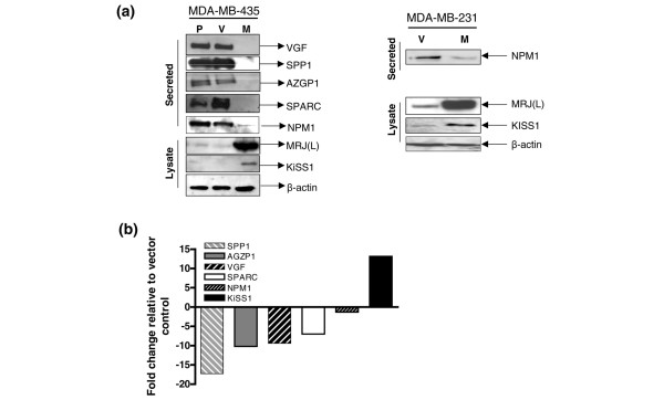 Confirmation of changes in level of secreted proteins. (a) The changes in the secreted proteome of mammalian relative of DnaJ (MRJ) long isoform (MRJ [L]) expressor observed by mass spectrometry were confirmed by Western blot analysis. Serum-free medium from equal number of MDA-MB-435 parent (P), vector (V), MRJ(L) expressors (M) or MDA-MB-231 vector (V), and MRJ(L) expressors (M) was probed for presence of osteopontin (SPP1), osteonectin (SPARC), VGF nerve growth factor inducible (VGF), and zinc binding α 2 -glycoprotein 1 (AZGP1). Equal amount of total protein extract (20 μg) of the same cells was probed for the level of KiSS1 (melanoma metastasis suppressor); simultaneously, the expression of MRJ(L) was confirmed. β-Actin was used to verify equal loading of the lysate. Apparent molecular weights of the proteins detected are given in parenthesis: VGF (90 kDa), SPP1 (62 kDa), AZGP1 (47 kDa), SPARC (40 kDa), nucleophosmin (NPM1; 37 kDa), MRJ(L) (38 kDa), and KiSS1 (15 kDa). (b) Real-time quantitative RT-PCR analysis was performed using RNA from the MDA-MB-435-vector and MDA-MB-435-MRJ(L) expressor. The PCR primers and probes for KiSS1, NPM1, AZGP1, SPARC, SPP1, and VGF and endorse control gene glyceraldehyde 3-phosphate dehydrogenase <t>(GAPDH)</t> were used. The reaction was performed for up to 40 cycles in triplicate. The gene expression Δ CT values of mRNAs from each sample were calculated by normalizing with internal control GAPDH. The fold change is represented as 2 -ΔΔCT . Real-time quantitative RT-PCR analysis was performed on the experimental mRNAs in triplicate and the experiment was repeated once from an independent passage.