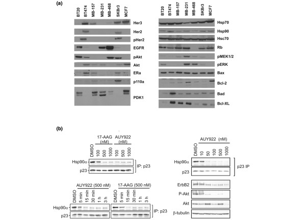Protein expression analysis in a panel of human breast cancer cell lines and effect of NVP-AUY922 on the HSP90-p23 complex in BT-474 cells. (a) The expression of HSP90 and specific proteins affected by HSP90 inhibition (Her3 [EGFR3], Her2 [ErbB2, EGFR2], phospho Her2 [pHer2], EGFR, AKT [PKB], phospho-AKT [pAkt], estrogen receptor-alpha [ERa], PI3K [p110α], PDK1, <t>HSP70,</t> Hsc70, Rb, pMEK1/2, pERK, Bax, Bcl-2, Bad, and Bcl-XL) was analyzed in seven human breast cancer cell lines (BT20, BT-474, MDA-MB-157 [MB-157], MDA-MB-231 [MB-231], MDA-MB-468 [MB-468], SKBr3, and MCF-7) by Western blot analysis. (b) The ERBB2-overexpressing and estrogen receptor-positive cell line BT-474 was chosen for studies of the kinetics and concentration-dependent dissociation of HSP90-p23 complexes and client proteins in the presence of NVP-AUY922 or tanespimycin (17-AAG). The amount of p23 associated with HSP90 was determined by immunoprecipitating p23 followed by immunoblotting for HSP90. The levels of ERBB2, AKT, phosphorylated AKT and β-tubulin were determined by immunoblotting. DMSO, dimethyl sulfoxide; HSP90, heat shock protein 90.