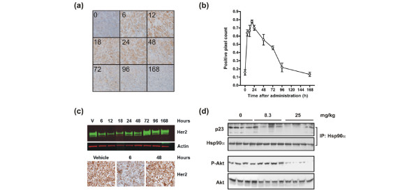 Analysis of the kinetics of HSP70 induction and ERBB2 degradation following a singe dose of NVP-AUY922. BT-474 tumor-bearing animals were administered 50 mg/kg NVP-AUY922 at 0 hours. (a) The protein levels of HSP70 were determined by immunohistochemistry during the following week. (b) The quantification of the protein levels of HSP70. (c) ERBB2 protein levels were determined by immunohistochemistry and Western blot analysis. (d) The lowest single dose of NVP-AUY922 which mediates HSP90-p23 dissociation and reduced AKT phosphorylation was determined by immunoprecipitation and Western blot analysis. HSP70, heat shock protein 70; HSP90, heat shock protein 90.