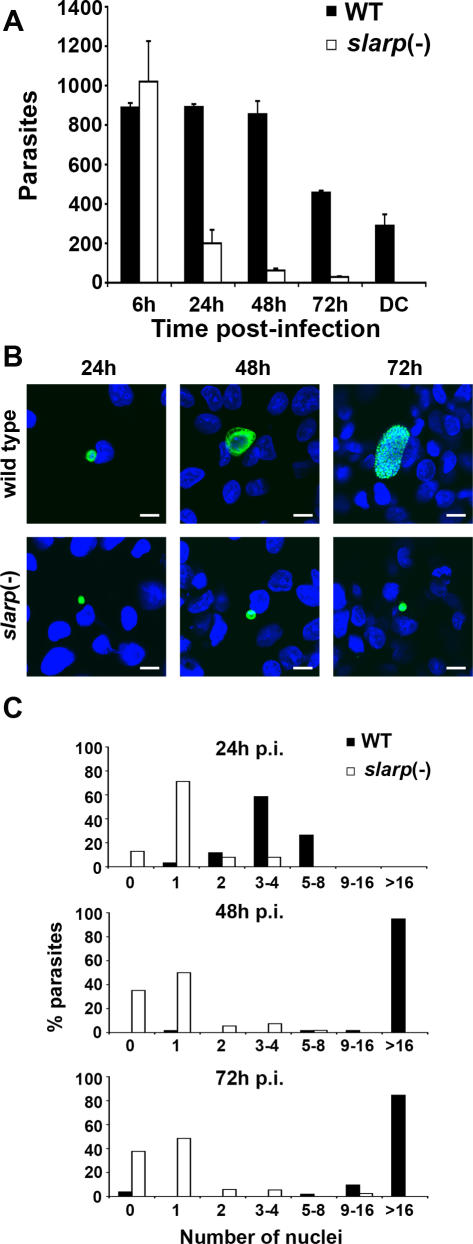 slarp (-) parasites are impaired in liver stage development. (A) HepG2 cells were infected with WT or slarp (-) sporozoites (1×10 4 ) and cultured for 6–72 hours before staining with anti-CSP or anti-HSP70 antibodies and quantification by fluorescence microscopy. Results are expressed as the mean number of parasites from triplicate wells+/−SD. DC, detached infected cells. (B) HepG2 cells were infected with WT or slarp(-) sporozoites and cultured for 24, 48 or 72 hours before staining with anti-HSP70 antibodies (green) and <t>Hoechst</t> 33342 (blue), and examination by confocal fluorescence microscopy. Bar = 10 µm. (C) HepG2 cells were infected with WT or slarp(-) sporozoites and cultured for 24, 48 or 72 hours before staining with anti-HSP70 antibodies and Hoechst 33342. For each population, the number of nuclei in at least 50 parasites was determined by examination under a fluorescence microscope.