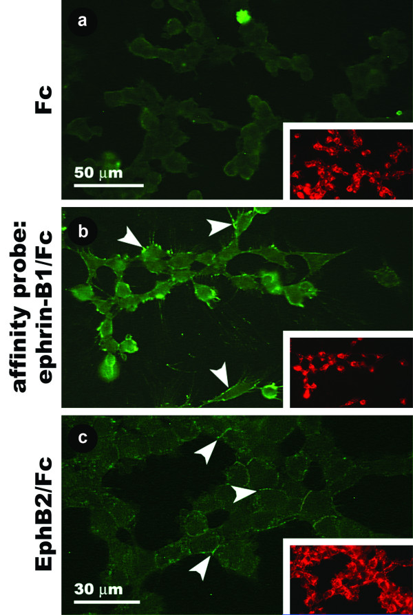 Binding of ephrin-B1 and EphB2 affinity probes to cultured avian CNC cells. (a) Cells exposed to Fc protein are not labeled by an anti-Fc antibody. (b) Bright peripheral spots of anti-Fc staining result from exposure of cells to ephrin-B1/Fc protein (arrowheads). (c) Cells exposed to EphB2/Fc protein exhibit weaker anti-Fc staining at points of contact between neighboring cells (arrowheads). Insets show HNK-1 staining for each field of cells.