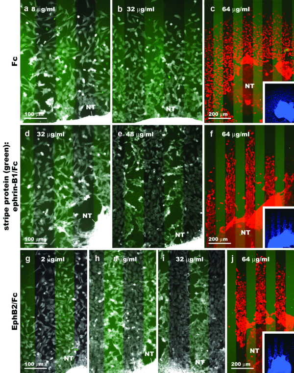 Outgrowth of cranial neural crest cells from stage 10–12 chicken neural tube explants onto ephrin-B1 or EphB2 stripe assay substrates. Representative results from the three experimental conditions. The position of the first set of lanes is revealed by an FITC marker (faint green stripes). In the last image on each row (c, f, j), cells have been double labeled with HNK-1 antibody (red) and DAPI nuclear stain (blue). (a-c) Clustered Fc + FN vs. FN. Cell outgrowth shows no bias for either set of lanes, regardless of Fc protein concentration. (d – f) Clustered ephrin-B1/Fc + FN vs. FN and (g – j) clustered EphB2/Fc + FN vs. FN. Cell outgrowth is even at low stripe protein concentrations, but becomes more restricted to the lanes between the FITC marked stripes with increasing concentrations in the coating solution.
