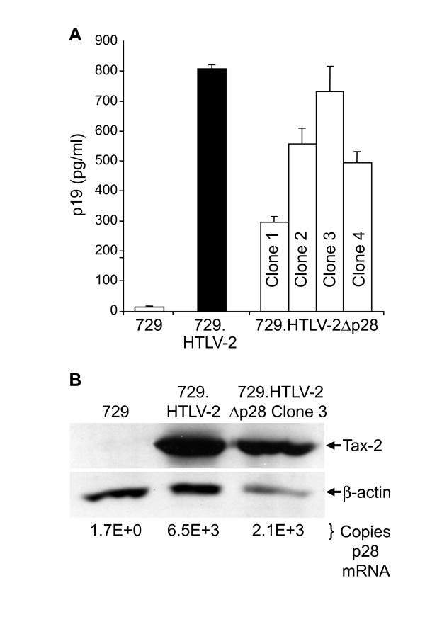 Expression of p19 Gag and Tax protein and p28 mRNA in permanent transfectants . (A) Four 729 stable transfectants (clone 1–4) were isolated for HTLV-2Δp28 as described in Materials and Methods. Our well-established 729pH6neo (729.HTLV-2) cell clone was used as the wtHTLV-2 stable producer cell line. p19 Gag was quantified by ELISA from the four independently isolated 729.HTLV-2Δp28 (Clones 1–4), 729.HTLV-2, and the 729 negative control. Each 729.HTLV-2 producer cell line displayed variable p19 production. (B) Clones indicated by asterisks, which have been shown to produce similar quantities of p19 Gag, were further characterized by Western blot for Tax protein expression using rabbit polyclonal antisera raised against Tax-2. β-actin was used as a loading control. Numbers below each lane are the copy number of p28 transcript per 10 6 copies of GAPDH determined by realtime RT PCR. The results show similar levels of p28 mRNA expression.