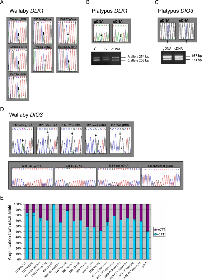 Biallelic Expression of DLK1 and DIO3 in Wallaby and Platypus (A) DLK1 is biallelically expressed in tammar wallaby. The imprinting status of wallaby DLK1 was determined by analyzing cDNAs shown here from three individuals (638, 788, and 2386) heterozygous for a G/A single nucleotide polymorphism (SNP) in exon 4 at 374 bp from translational start. Biallelic expression was observed in yolk sac placenta (YSM), fetal head, fetal tail, and pouch young (PY) body. Results were confirmed with three further SNPs in the 5′ UTR ( Figure S2 ). (B) DLK1 is biallelically expressed in platypus. An A/C SNP was identified in the 3′ UTR of the platypus DLK1 gene 1,323 bp from the translational start. Sequence analysis of cDNA generated from an informative platypus primary fibroblast cell line demonstrated biallelic expression. The C allele of the SNP introduces an Nla III into the region. RFLP analysis confirms biallelic expression of platypus DLK1 . (C) DIO3 is biallelically expressed in the platypus. Two polymorphisms in platypus DIO3 were identified in two different primary fibroblast cell lines—a G/C SNP and a 64 bp indel. RT-PCR analysis demonstrates biallelic expression. (D) Two polymorphisms were identified in wallaby DIO3, a CTT indel and a G/A SNP. Preferential expression was observed from the –CTT/G allele, which was particularly evident in yolk sac placenta samples. (E) Quantitative RT-PCR was used to assess the expression from each DIO3 allele in 12 different heterozygous individuals compared with a standard curve of two gDNA mixed at different ratios. Genomic DNA from all individuals was also tested and compared to the standard curve. Where more than one cDNA was analysed the data were combined and ± standard error are shown. All tissues tested displayed biased expression of the –CTT allele regardless of its parent of origin. BYS, bilaminar yolk sac; TYS, trilaminar yolk sac; YS, yolk sac; and mat, maternal gDNA. The maternal genotype for each individual is are shown in