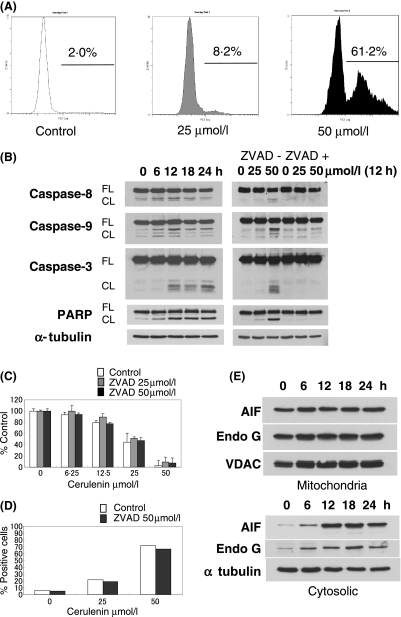 Cerulenin induces apoptosis via activation of caspase-independent pathway. (A) MM.1S cells were cultured for 24 h with Cerulenin at the indicated doses. Induction of apoptosis by Cerulenin was determined by Apo2·7 staining and flow-cytometric analysis. (B) MM.1S cells were cultured with Cerulenin (50 μmol/l) for the indicated times (left panel), and preincubated with or without Z-VAD-FMK (50 μmol/l) for 1 h prior to treatment with Cerulenin for 12 h at the indicated doses (right panel). Total cell lysates (20 μg /lane) were subjected to Western blotting using anti-caspase -8, -9, -3, PARP, and α-tubulin Abs. FL, CF indicate the full length and cleaved form, respectively. (C, D) MM.1S cells were treated with the indicated dose of Cerulenin for 24 h, with or without Z-VAD-FMK (25 μmol/l or 50 μmol/l) 1 h pretreatment. Cytotoxicity was determined by MTT assay (C). Values represent mean ± SD of quadruplicate cultures. The percentage of apoptotic cells was determined by flow-cytometric analysis for APO2·7 staining (D). (E) Mitochondrial proteins AIF and Endo G were released into the cytosolic fraction from mitochondria after Cerulenin (50 μmol/l) treatment in MM.1S cells. Total cell lysates (20 μg/lane) were subjected to Western blotting using anti-AIF, Endo G, VDAC and α-tubulin Abs.