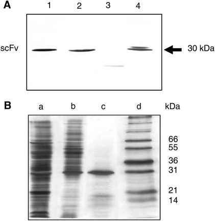 Analysis of antibody-containing periplasmic fractions containing antibodies ( A ) After induction of single ampicillin-resistant infected E. coli HB2151 colonies with 1 m M IPTG. Lane 1: clone 39; lane 2: clone 40; lane 3: clone 92; lane 4: clone 69. After size fractionation on 12.5% SDS–PAGE, protein extracts were blotted onto nitrocellulose. The immunoblot was developed with HRP-conjugated M2 anti-FLAG mAb (1 : 2000) followed by addition of the 4-chloro-1-naphtol substrate. ( B ) Before and after purification. The purity was controlled on 12.5% SDS–PAGE gel followed by silver staining. Lane a: nonpurified periplasmic fraction. Lane b: Periplasmic fraction purified on a Hitrap Ni-activated chelating column. Lane c: Periplasmic fraction purified on a Hitrap Ni-activated chelating column followed by gel filtration on Superdex 75. Lane d: Standard molecular mass markers.