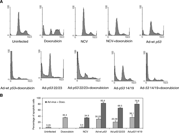 Ad- p53 14/19, Ad- p53 22/23 and Ad-wt p53 enhance doxorubicin (Doxo)-mediated apoptosis in HT1080 fibrosarcoma cells. Cells were infected with NCV, Ad-wt p53 , Ad- p53 22/23 or Ad- p53 14/19 for 3 days alone or in combination with 0.1 μ g/ml doxorubicin. Cells were then stained with PI and apoptosis was assessed with sub-G1 profile analysis using a FACScan flow cytometer. Examples of apoptosis are shown in ( A ). ( B ) Percentages of apoptotis are given as the mean+standard deviation of Log [PI] from three independent experiments. Gray bars indicate HT1080 cells treated by mock infection, doxorubicin, NCV, Ad-wt p53 , Ad- p53 22/23 or Ad- p53 14/19 alone. Black bars indicate cells treated with doxorubicin plus NCV, Ad-wt p53 , Ad- p53 22/23 or Ad- p53 14/19.