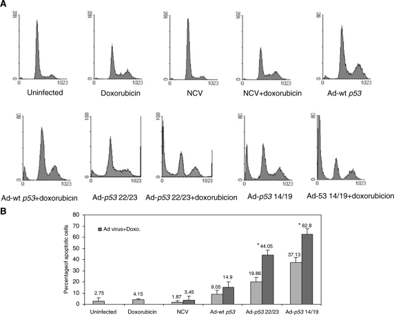 Ad- p53 14/19 enhances doxorubicin-mediated apoptosis in SJSA osteosarcoma cells. Cells were infected with NCV, Ad-wt p53 , Ad- p53 22/23 or Ad- p53 14/19 for 3 days alone or in combination with 0.1 μ g ml −1 doxorubicin. Cells were then stained with PI and apoptosis was assessed with sub-G1 profile analysis using a FACScan flow cytometer. Examples of apoptosis in SJSA cells are shown in ( A ). ( B ) Percentages of apoptotic cells are given as the mean+standard deviation of Log [PI] from three independent experiments. * Indicates a significant increase compared to Ad-wt p 53 plus doxorubicin treatment ( P