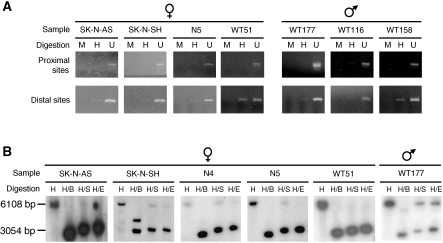 Methylation analysis of the GPC3 promoter in tumour cell DNA samples. PCR- ( A ) and Southern blot- ( B ) based methylation assays were performed on tumour cell DNA samples from NB cell lines (SK-N-AS, SK-N-SH), primary NBs (N4, N5) and primary WTs (WT51, WT116, WT158, WT177). Only results for samples with abnormal DNA methylation patterns are shown. Digestions: ( A ) H: Hpa II; M: Msp I; U: undigested; ( B ) H: Hind III; B: Bss HII; S: Sac II and E: Eag I.