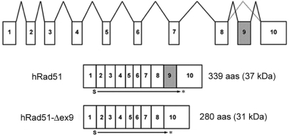 Schematic diagrams of the mRNA structures of hRad51 and hRad51-Δex9 . Exons are shown as numbered boxes, introns as bold lines. Hatched boxes indicate the deleted exon in the hRad51-Δex9 mRNA. 'S' stands for the start codon, and 'Asterisk' for the stop codon.