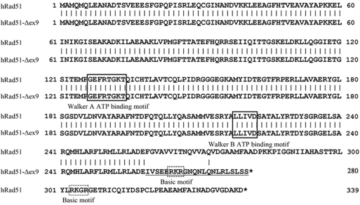 Alignment of the amino acid sequences of hRad51 and hRad51-Δex9. The hRad51 polypeptide sequence is aligned with the predicted amino acid sequence of hRad51-Δex9. The 22 'out of frame' codons are indicated with an underline in the amino acid sequence of hRad51-Δex9. Walker A and B ATP-binding motifs and basic motifs are also indicated.