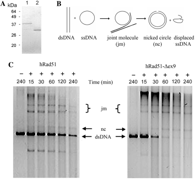 DNA strand exchange activity of hRad51 and hRad51-Δex9. ( A ) Western blot analysis of the purified recombinant hRad51 and hRad51-Δex9 protein using a commercial hRad51 antibody. Lane 1, hRad51; Lane 2, hRad51-Δex9. ( B ) Schematic diagram of DNA strand exchange between circular ssDNA and linear <t>dsDNA</t> of φX 174. ( C ) DNA strand exchange reactions mediated by the purified recombinant hRad51 and hRad51-Δex9 proteins. After incubation with 3.5 μM of either the hRad51 or hRad51-Δex9 protein for a series of time-intervals (15, 30, 60, 120 and 240 min), the DNA was analyzed by 0.8% agarose gel electrophoresis, followed by staining with Syber green. When the hRad51 or hRad51-Δex9 protein was not included in the strand-exchange reactions, no bands corresponding to the forms of joint molecules or nicked circles were detected at 240 min of incubation (the first lane in each panel).