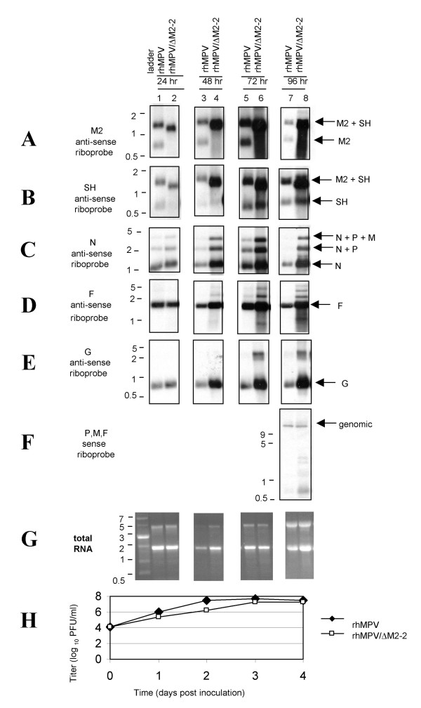 4-day time course of Northern blot analysis and multicycle growth . Replicate cultures of Vero cells were infected with rhMPV or rhMPV/ΔM2-2 at MOI of 0.1 PFU/cell. Cells and supernatants were harvested daily. Total RNA was extracted, and 7 replicate aliquots were separated on 1% agarose gel in the presence of 0.44 M formaldehyde gel, transferred to a nylon membrane and hybridized with digoxigenin-labeled single-stranded anti-sense riboprobes to detect mRNA as follows: A) M2 riboprobe; B) SH riboprobe; C) N riboprobe; D) F riboprobe; E) G riboprobe. F) Sense P, M, and F riboprobes were combined to detect genomic RNA. G) RNA in a duplicate gel was visualized with ethidium bromide and photographed under UV light. H) Titers of samples prior to RNA extraction were determined by plaque assay in Vero cells.