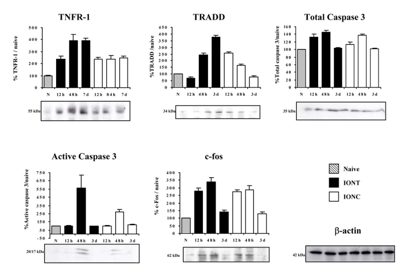 Time course regulation of cell death–related proteins in naïve and optic nerve injured retinas. Western blot time course analyses showing the regulation of tumor necrosis factor receptor superfamily member 1a (TNFR1a), tumor necrosis factor receptor type 1, associated death domain (TRADD), total Caspase 3, active Caspase 3, and c-fos in naïve, intraorbital nerve transection (IONT)-, and intraorbital nerve crush (IONC)-injured retinas. Graphs show quantification of protein signals (n=4 animals per lesion and time point, western blots were replicated three times). The signal from injured retinas is referred to the naïve signal, which was arbitrarily considered 100%. To verify the amount of loaded protein, western blots were incubated with <t>β-actin</t> (an example is shown). Error bars show the standard error of the mean (SEM) for each experiment.