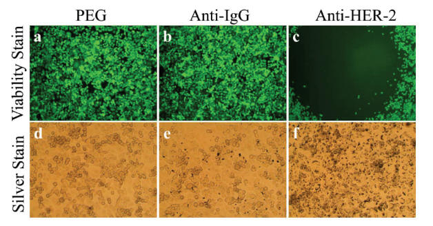 Antibody conjugated nanoshells bound to cells when the appropriate antigen was present. SK-BR-3 cells were incubated with PEG-coated nanoshells (a, d), <t>anti-IgG</t> conjugated nanoshells (b, e), and anti-HER2 conjugated nanoshells (c, f). Following laser exposure, a region of cell death corresponding to the laser spot resulted in groups incubated with anti-HER2 conjugated nanoshells (c). Cells incubated with PEGylated or anti-IgG conjugated nanoshells continued to live. Silver staining (d–f) showed maximal binding of anti-HER2 conjugated nanoshells to the SK-BR-3 cells (f). Laser spot is 1.5 mm wide. Abbreviations: HER2, epidermal growth factor receptor; PEG, polyethylene glycol.