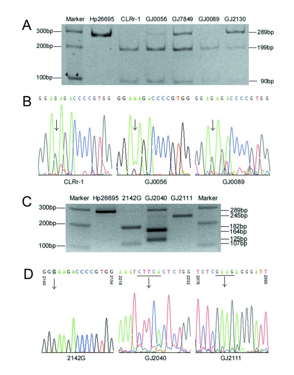 Chromatograms of PCR-RFLP assays and sequencing for detection of nucleotide alterations of 23S rRNA . H. Pylori 26695 and CLR r -1 were used as negative and positive control of A2143G mutation. BsaI digestion of the PCR products of representative samples was displayed on 8% PAGE gel. The 289 bp A2143G-positive PCR products were cleaved into a 199 bp and a 90 bp fragments ( A ). The A2143G mutation was also confirmed by sequencing of the PCR products of 23S rRNA ( B , displayed 2140–2154 fragment). H. Pylori 26695 and a 2142G clone were used as negative and positive control of A2142G mutation. MboII digestion of the PCR products of representative samples was displayed on 2% agarose gel. The 289 bp A2142G-positive PCR products of 2142G were cleaved into an 182 bp and a 107 bp fragments. The PCR product of GJ2040 was cleaved into a 164 bp and a 125 bp fragments; and the product of GJ2111 was cleaved into 245 bp and 44 bp fragment(s) ( C ). The A2142G and other mutations were confirmed by sequencing ( D ). Two new MboII -sensitive sequences were characterized as CTTCA (2222–2226) for GJ2040 and GAAG (2081–2084) for GJ2111.