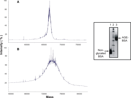 Analysis of BSA and AGE-BSA by mass spectrometry. The mass increase of protein after glycation is observed. The mass of nonglycated BSA was 66,655.58 Da ( A ) and that of AGE-BSA was 74,461.15 Da ( B ). The net increase of mass was 7,805.57 Da, corresponding to the addition of 48 molecules of glucose to each BSA molecule. Inset: change of isoelectric point of BSA after glycation. Nonglycated BSA had a pI of 4.2 while AGE-BSA had a pI of 6.3. Line 2 is the broad range pI standard kit (pH 3–10).