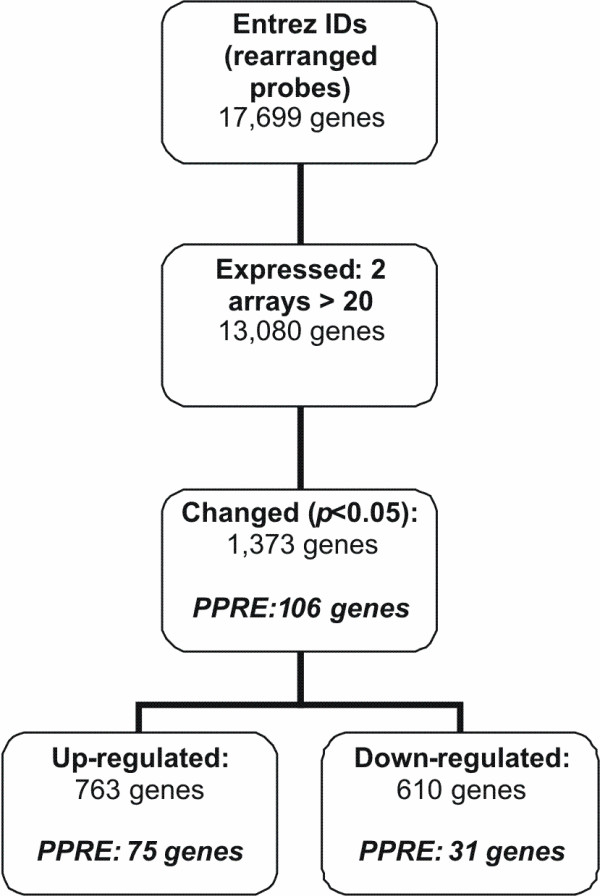 Gene selection procedure after microarray analysis of WY14,643 incubated PBMCs . Flow chart of the followed gene selection procedure after microarray analysis of WY14,643 incubated PBMCs from 6 donors. PPRE; number of genes containing a peroxisome proliferator response element according to Lemay et al .