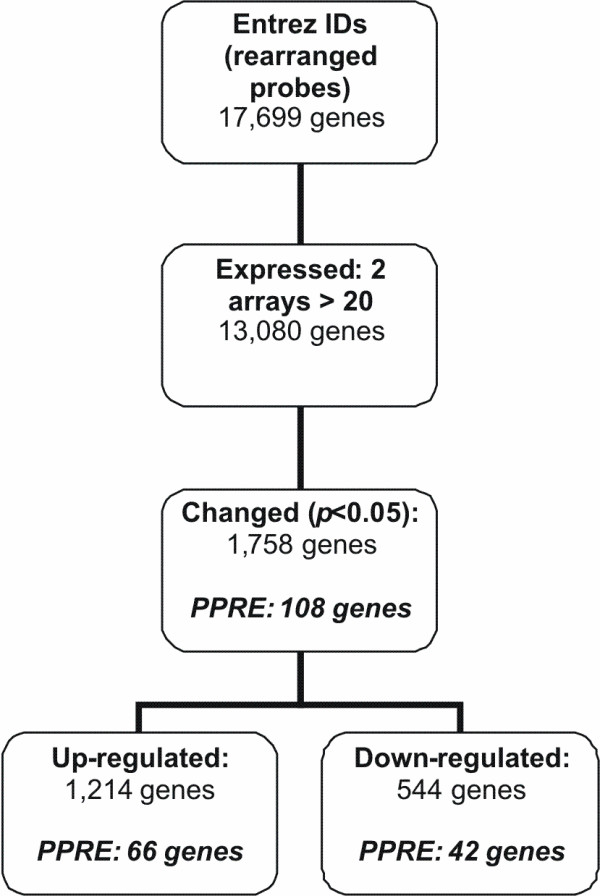 Gene selection procedure after microarray analysis of PBMC of three 24 hour fasted subjects . Flow chart of the followed gene selection procedure after microarray analysis of PBMC of three 24 hour fasted subjects. PPRE; number of genes containing a peroxisome proliferator response element according to Lemay et al . Data from this fasting study was published previously [14], but has been used here after applying a different annotation procedure.