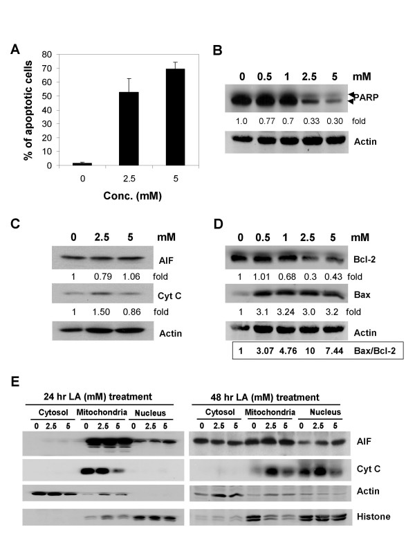 Induction of apoptosis by LA and analysis on poly(ADP-ribose) polymerase (PARP) cleavage, AIF/cytochrome c expression, and bax/bcl-2 ratio and subcellular distribution of AIF/cytochrome c by LA. (A) HL-60 cells were treated with 0, 2.5 and 5 mM LA for 24 to 48 h; LA induced cell death, evident by the flow cytometric measured sub-G1 fraction was calculated and shown as % of total cell population. (B) Western blot analysis revealed down regulation of PARP expression at accompanied by appearance of 89 kDa cleaved PARP fragment in ≥ 2.5 mM, 48 h LA treated cells. (C) AIF and cytochrome c (Cyt C) expression in 48 h LA treated cells. (D) The actin-adjusted level of bax and bcl-2 and changes in the ratio of bax to bcl-2 in HL-60 cells treated for 48 h with increasing dose of LA. (E) Subcellular distribution of immunoreactive AIF and Cyt C in the cytosol, mitochondria and nucleus in control and 24 and 48 h LA-treated HL-60 cells. Actin and <t>histone</t> was used as loading control for cytosol and nucleus fractions, respectively. For mitochondria fraction verification was performed as detailed in Methods.
