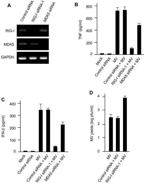 MV-elicited production of TNF and IFN-β is mediated by RIG-I in primary human macrophages. (A) pHMs were transfected with control siRNA or siRNAs targeting cytoplasmic RNA sensors RIG-I (top panel) or MDA5 (middle panel). The cells were analyzed 48 h later by RT-PCR for the indicated mRNA levels. GAPDH was used as control. (B, C) RIG-I is critically required for MV-elicited production of both TNF (B) and IFN-β (C) in pHMs. pHMs or various siRNA pHMs were mock-infected or infected with MV and the accumulation of TNF and IFN-β in the culture supernatants was assessed by ELISA 24 h post-infection. (D) RIG-I mediates cellular restriction to MV infection in pHMs. pHMs or control siRNA or RIG-I siRNA pHMs as indicated were infected with MV. MV yields were determined by the standard plaque assay using BGMK cells at 48 h after infection. Data in (B), (C) and (D) represent mean +/− SD.