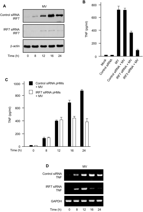 IRF7 is crucial for sustaining MV-elicited TNF induction in primary human macrophages. (A) Control siRNA pHMs or IRF7 siRNA pHMs were infected with MV for various times (below lanes) and the whole cell lysates were analyzed for MV-induced expression of IRF7 protein. β-actin was used as control. (B) pHMs or various siRNA pHMs were mock-infected or infected with MV. TNF protein in the culture supernatants was assessed by ELISA 24 h post-infection. (C) IRF7 expression and TNF production kinetics. Control siRNA pHMs or IRF7 siRNA pHMs were infected with MV for various times as indicated and TNF protein in the culture supernatants was assessed by ELISA. (D) IRF7 is required for sustaining TNF gene transcription activated by MV infection. Control siRNA pHMs or IRF7 siRNA pHMs were infected with MV for various times (below lanes) and the cells were analyzed by RT-PCR for the indicated TNF mRNA levels. GAPDH was used as control. Data in (B) and (C) represent mean +/− SD.