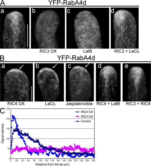 The accumulation of YFP-RabA4d vesicles to the tip is associated with the apical F-actin dynamics. (A) F-actin is associated with YFP-RabA4d accumulation to the tip. YFP-RabA4d was transiently expressed alone (a) or coexpressed with RIC3 (b) in tobacco pollen tubes. For chemical treatment, control pollen tubes (YFP-RabA4d alone) or RIC3-overexpressing pollen tubes were treated with 5 nM LatB (c) or 100 μM LaCl 3 (d), respectively, for 1 h. Tip accumulation of YFP-RabA4d was completely disrupted by RIC3 overexpression (b) or LatB treatment (c). LaCl 3 treatment nearly restored normal accumulation of YFP-RabA4d in RIC3-overexpressing tubes (d). All images show a midplane section. (B) Accumulation of tip F-actin causes depolarized localization of YFP-RabA4d to the tip. YFP-RabA4d was transiently expressed alone (b and c) or coexpressed with the indicated RICs (RIC4 [a] and RIC3 + RIC4 [e]). 3 h after bombardment, control pollen tubes (YFP-RabA4d) were treated with 50 μM LaCl 3 for 1 h (b) or 100 nM <t>jasplakinolide</t> for 10 min (c) before imaging. RIC4 OX (a), LaCl 3 (b), or jasplakinolide treatment (c) induced increased accumulation of YFP-RabA4d near the cortex over an expanded region of the apex. Treatment with LatB (d) or coexpression with RIC3 (e) restored pollen tube growth and normal vesicle accumulation to the tip in RIC4-overxpressing tubes. Arrows indicate the depolarized localization of YFP-RabA4d. All images were taken from the midplane. Bars, 10 μm. (C) Quantitative comparison of YFP-RabA4d accumulation. Pixel values were measured along a central transect through the fluorescence image in wild-type, RIC3 OX, and RIC4 OX pollen tubes. Similar results were obtained from ∼20 individual pollen tubes.