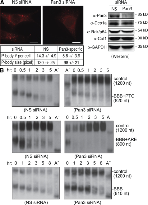 Pan3 knockdown affects P-body formation and has differential effects on mRNA decay.  (A, left) Immunofluorescence microscopy results showing a significant loss of P-bodies in cells transfected with the Pan3-specific siRNA (Pan3 siRNA) but not with the control nonspecific (NS) siRNA. Rabbit anti-Dcp1a antibody was used to detect P-bodies. (A, bottom) A summary of the changes in P-body number and size after Pan3 knockdown (see Materials and methods). (A, right) Western blots showing that the Pan3 siRNA efficiently knocked down the Pan3 expression but had little effect on the expression of the three other P-body components (Dcp1a, Rck/p54, and Caf1) and the control (GAPDH). (B) Northern blots showing the effects of Pan 3 knockdown on deadenylation and decay of BBB+PTC (top), BBB+ARE (middle), or BBB (bottom) mRNA. NIH3T3 B2A2 cells were transiently cotransfected with a Tet promoter–regulated plasmid encoding a reporter mRNA as indicated and either the nonspecific siRNA or Pan3 siRNA. A plasmid encoding constitutively expressed α-globin–GAPDH mRNA was also cotransfected to provide an internal standard for transfection efficiency and sample handling (control). Times correspond to hours after tetracycline addition. Poly(A) −  RNA was prepared in vitro by treating an RNA sample from an early time point with oligo(dT) and RNase H.