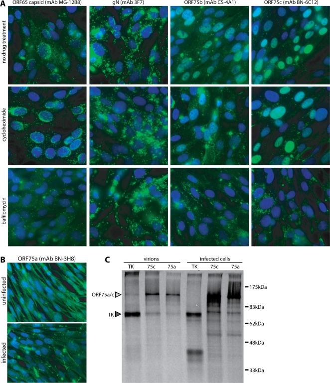 Identification of ORFs 75a/b/c as virion components. A. BHK-21 cells were incubated with wild-type MuHV-4 virions (5 p.f.u./cell, 6 h, 37°C), with or without cycloheximide (100 µg/ml) to block new protein synthesis or bafilomycin (500 nM) to block virion membrane fusion. The cells were then fixed in 4% paraformaldehyde, permeabilized with Triton X-100 and stained (green) for ORF75b, ORF75c, the ORF65 virion capsid component or glycoprotein N (gN). Nuclei were counterstained with DAPI (blue). B. BHK-21 cells were exposed to MuHV-4 virions as in A without drug treatment, then fixed, permeabilized and stained for ORF75a. At the exposure necessary to see strong positive staining, background staining of uninfected controls was also evident. C. 35 S-cysteine/methionine-labelled, MuHV-4-infected BHK-21 cultures were separated into infected cell and virion fractions, lysed in Triton X-100 and precipitated with mAbs specific for thymidine kinase (TK), ORF75c (75c) or ORF75a (75a), plus protein A/protein G-sepharose. Immunoprecipitated proteins were separated by SDS-PAGE and visualized by autoradiography. The predicted sizes of ORF75a (142 kDa), ORF75c (146 kDa) and TK (72 kDa) are marked.