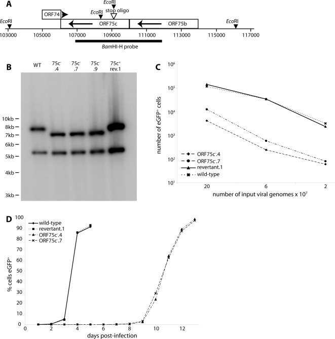 Generation of ORF75c − MuHV-4 mutants. A. Schematic diagram of the ORF75c genomic locus and the introduced stop oligo mutation. B. Southern blot of viral DNA recovered from wild-type (WT), ORF75c mutant (75c − .4, 75c − .7, 75c − .9) and 75c − .4 revertant (75c + rev.1) virus stocks. The viral DNA was digested with Eco RI and probed with the labelled Bam HI-H genomic fragment shown in A. There is an invariant band of 5186 bp. The wild-type 7776 bp band shifts to 7048 bp in the mutant. The small mutant band of 728 bp is not visible on this gel. C. Two ORF75c − mutants were compared with wild-type and revertant viruses for infectivity. The viral genome content of each stock was determined by real-time PCR, and equivalent genome numbers used to infected BHK-21 cells (18 h, 37°C). The number of infected cells was determined by flow cytometry of eGFP expression from the MuHV-4 BAC cassette. D. BHK-21 cells were infected with ORF75c − (ORF75c − .4, ORF75c − .7) or ORF75c + (wild-type, revertant.1) viruses at 10 genomes/cell - equivalent for the wild-type and revertant to 0.01 p.f.u./cell. The spread of infection with time was assayed by flow cytometry of viral eGFP expression.