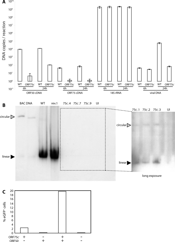 ORF75c − MuHV-4 shows defective immediate early gene expression. A. BHK-21 cells were infected (1000 genomes/cell) with wild-type (WT) or ORF75c − .4 (ORF75c − ) virions. DNA and RNA were recovered at 6 h and 24 h post-infection. RNA was reverse transcribed using ORF50, ORF73 and 18S rRNA-specific primers and cDNAs quantitated by real-time PCR. Controls without reverse transcriptase were all negative. Each sample was run in triplicate and mean copy numbers determined by comparison with known template dilutions. Viral genome numbers were quantitated by amplificating 100 ng DNA with MuHV-4 M2-specific primers and comparing with known template dilutions. B. BHK-21 cells were infected with ORF75c + (WT, rev.1) or ORF75c − (75c − .4, 75c − .7, 75c − .9) viruses (2 p.f.u./cell or an equivalent number of genomes), and 18 h later lysed in situ in agarose gels. UI = uninfected cells. Circular and linear genomes were distinguished by electrophoretic mobility and comparison with circular genomic BACs, which differ in size due to different numbers of terminal repeats. Viral genomes were identified by probing with a labelled terminal repeat fragment. The boxed area was exposed for a longer time to visualize ORF75c − genomes. C. BHK-21 cells were infected with BAC + ORF75c − MuHV-4 (1000 genomes/cell), then 24 h later super-infected with BAC − ORF50 − MuHV-4 (1000 genomes/cell), then 24 h later analyzed for BAC-based eGFP expression by flow cytometry. Each bar shows 20,000 cells. The data are from 1 of 3 equivalent experiments. The increase in eGFP expression with ORF50 − superinfection was highly significant (p