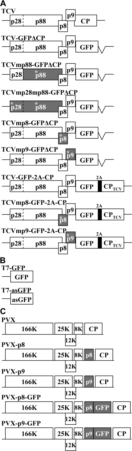 A schematic representation of recombinant viral constructs. (A) Genomic organization of TCV and TCV-based local RNA silencing vectors. Viral genes and GFP coding regions are presented as open boxes. Mutated open reading frames have asterisks and are shaded. The self-cleaving 2A oligopeptide of Foot-and-mouth disease virus is shown as a dark box. (B) Gfp sense and anti-sense cassettes. The GFP gene was cloned into pGEM-T Easy vector in opposite orientations under the transcriptional control of the T7 RNA promoter. (C) Genomic organization of PVX and PVX-based gene expression constructs.