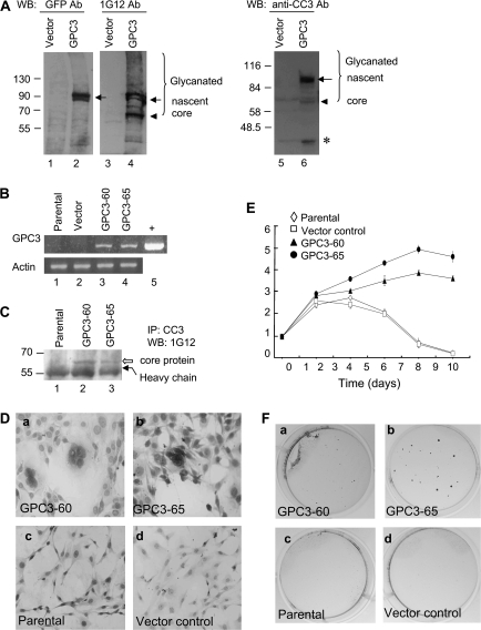 GPC3 promotes cell growth in NIH3T3 cells. ( A ) Transient expression of GPC3 in HEK293T cells. Cells were transfected with pgpc3-GFP, and 48 h later, cytosolic extracts were analyzed by western blot using anti-GFP (lanes 1 and 2), 1G12 (lanes 3 and 4) or anti-CC3 (lanes 5 and 6). Molecular weight markers are indicated on the left. The bracket indicates glycanated GPC3 proteins; the arrow indicates the nascent GPC3 protein; the arrowhead indicates the 65 kDa core protein and the asterisk indicates the 40 kDa convertase-cleaved fragment. ( B ) Reverse transcription–polymerase chain reaction analysis of gpc3 mRNA in stable lines. Lane 1, the parental NIH3T3 cells; lane 2, vector control cells; lane 3, GPC3-60 cells; lane 4, GPC3-65 cells and lane 5, positive control (+). Mouse actin was served as the RNA loading control. ( C ) Expression of GPC3 protein in stable lines. Six hundred micrograms of cytosolic extracts were immunoprecipitated with anti-CC3, digested by heparitinase and then blotted with 1G12. Lane 1, the parental cells; lane 2, GPC3-60 cells and lane 3, GPC3-65 cells. The open arrow indicates the GPC3 core protein, and the black arrow indicates the antibody heavy chain. ( D ) Morphology of the cells. GPC3-60 and GPC3-65 cells revealed increased nucleus-to-cytoplasm (N/C) ratio and multinucleation in Papanicolaou stain ( a and b ). Parental and vector control cells were shown as a comparison ( c and d ). ( E ) Growth rate of the GPC3-expressing cells in serum-free medium. Cells were seeded in 35 mm plates in triplicate and cultured in Dulbecco's modified Eagle's medium without serum. Cells were harvested at 48 h intervals and were counted in triplicates. ( F ) Colony formation in soft agar was observed for GPC3-expressing line GPC3-60 and GPC3-65 (a and b), but not for the parental or vector control cells (c and d).