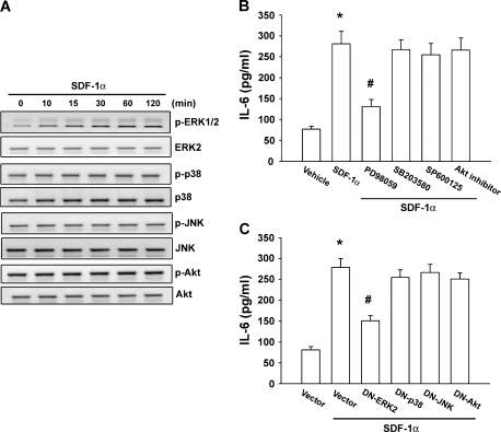 ERK is involved in the potentiation of IL-6 expression by SDF-1α. SCC4 cells were incubated with SDF-1α (100 ng/ml) for indicated time intervals, and p-ERK, p-p38, p-JNK or p-Akt expression was determined by western blot analysis ( A ). Cell were pretreated for 30 min with PD98059 (10 μM), SB203580 (10 μM), SP600125 (10 μM) and Akt inhibitor (10 μM) ( B ) or transfected with dominant-negative (DN) mutant of ERK, p38, JNK and Akt ( C ) for 24 h followed by stimulation with SDF-1α (100 ng/ml) for 24 h. Media were collected to measure IL-6. Results are expressed as the mean ± SE. * P