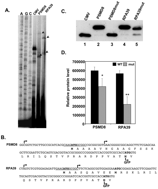 TISU drives translation initiation in a native context. A. PSMD8 and RPA39 promoters and part of the coding sequences were fused in frame to the GFP gene, instead of the CMV promoter. The constructs were transfected into 293T cells and 24 hours post transfection total RNA was extracted and the TSSs, determined by primer extension. The primer-extension products were run together with sequencing ladders (A, C, G, left panel) and the TSSs are indicated by arrowheads. B. The DNA and protein sequences and the positions of TSSs of the PSMD8 and RPA39 sequences. The TSSs are indicated by arrows, the expected translation start sites are marked with bold letters and the translation start site of the GFP is indicated. C. Representative western blot of the translation from mRNA directed by PSMD8 and RPA39 genes. GFP reporter gene driven by PSMD8 and RPA39 promoters bearing wild type and mutated TISU, and the parental CMV promoter were co-transfected into 293T cells together with the luciferase reporter gene pGL3-promoter to normalize transfection efficiency. Normalized cell lysate was subjected to western blot using anti-GFP to determine which AUG initiated translation. D. The intensity of the translation products was quantified. The results represent the average ±S.D of 3 independent experiments. * p