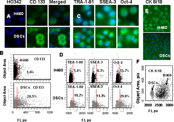 Analysis of CD133, embryonic stem cell (ESC) markers and cytokeratins 8/18 expression in H460 cells and DSCs. H460 cells and DSCs, growing in 96-well plates, were fixed and incubated with primary Abs against CD133, TRA-1-81, SSEA-3, Oct-4, or cytokeratins8/18 and then with secondary Abs. Cell nuclei were stained with Hoechst 33342. Cell images were acquired using the Cellomics ArrayScan HCS Reader (20X, 40X objectives) and analyzed using the Target Activation BioApplication Software Module. A, Immunofluorescent images of tumor cells. B, Fluorescence intensity (pix) of CD133 plotted against object area. Each point represents a single cell. Cells to the right of the red line are CD133+ (above IgG control staining). C, Images of tumor cells immunofluorescently stained tumor cells for TRA-1-81, SSEA-3 and Oct-4 ES cell markers. D. Fluorescence intensity of TRA-1-81, SSEA-3 and Oct-4, plotted against object area. Each point represents a single cell. Cells to the right of the red line are positive (above IgG control staining). E, Images of immunofluorescently stained tumor cells for cytokeratins8/18. F, Fluorescence intensity of cytokeratins8/18 in H460 cells (black dots) and DSCs (grey dots) plotted against object area .
